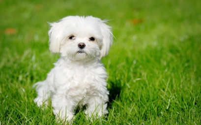 7033885-white-puppy-wallpaper.jpg