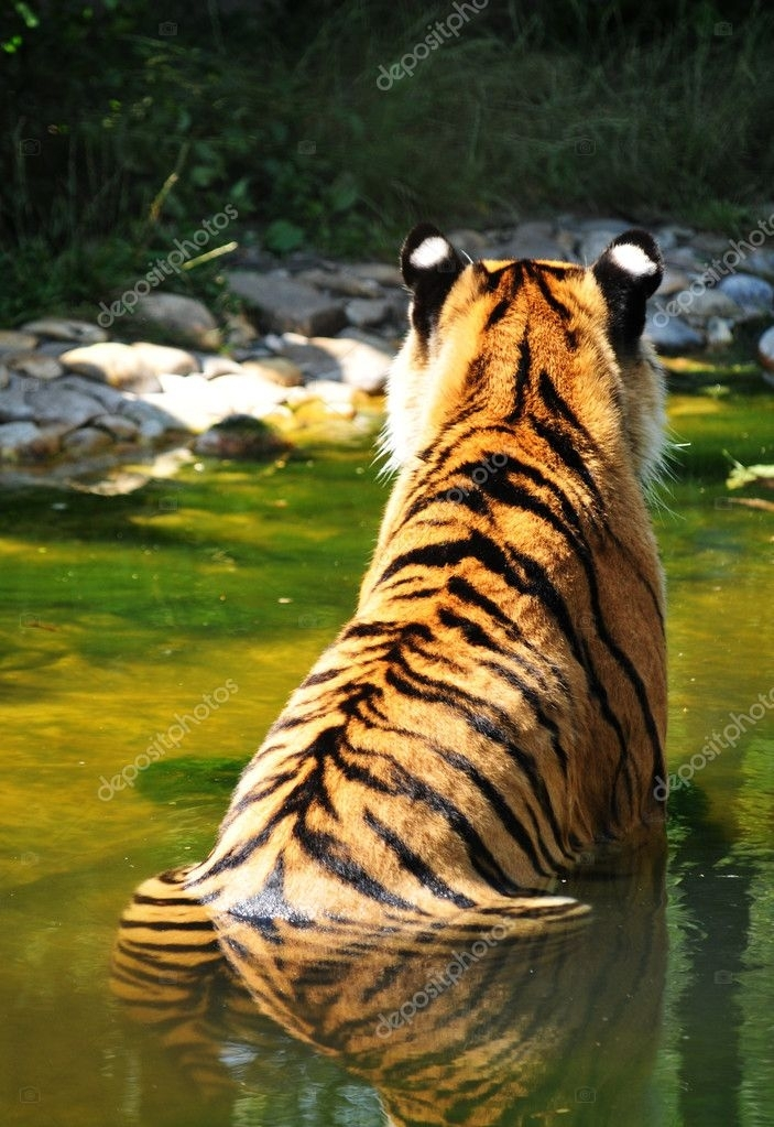 depositphotos_6943538-stock-photo-back-view-of-a-tiger